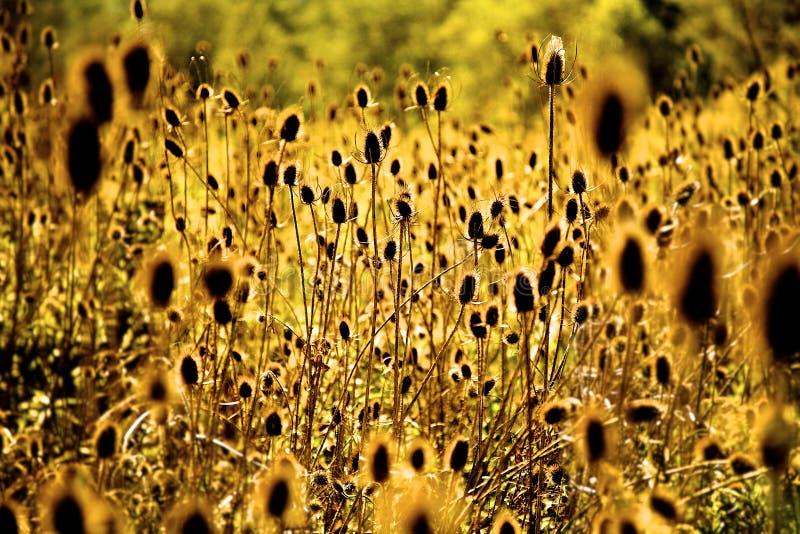 Sun che splende attraverso le erbacce immagini stock