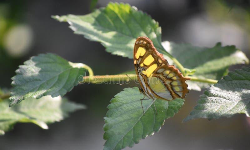Sun che splende sulle ali di una farfalla della malachite immagini stock