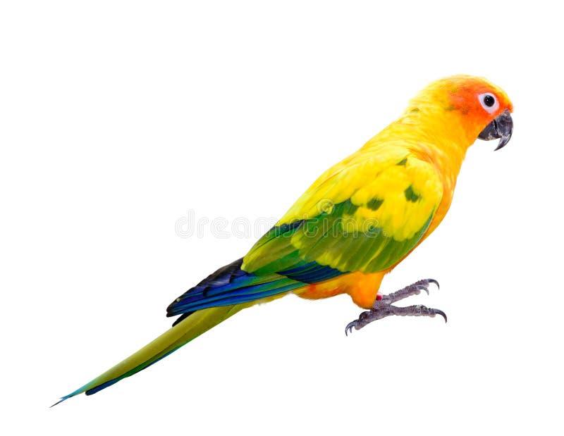 Sun conjura el macaw del loro imagenes de archivo