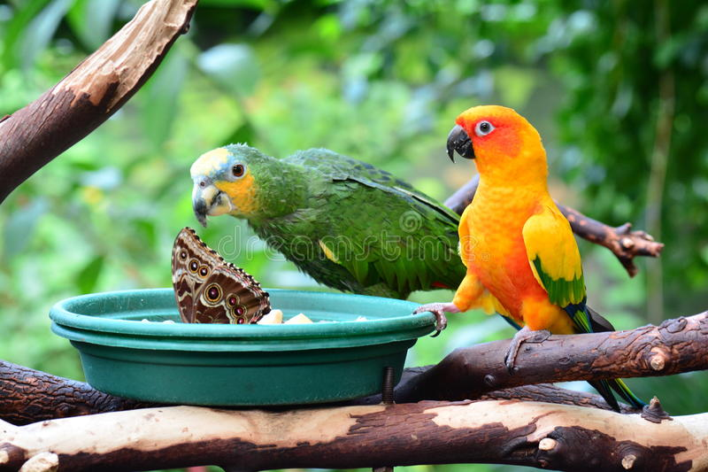 Sun conure and a Amazon orange wingtipped parrot. Two feathered friends at the dinner table stock photography