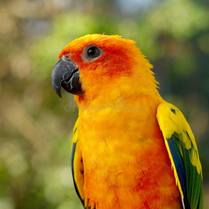 Sun conure, beautiful yellow parrot bird. Sitting on the branch stock photo