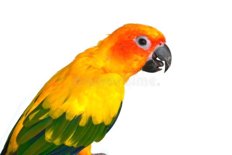 Sun Conure bird stock image