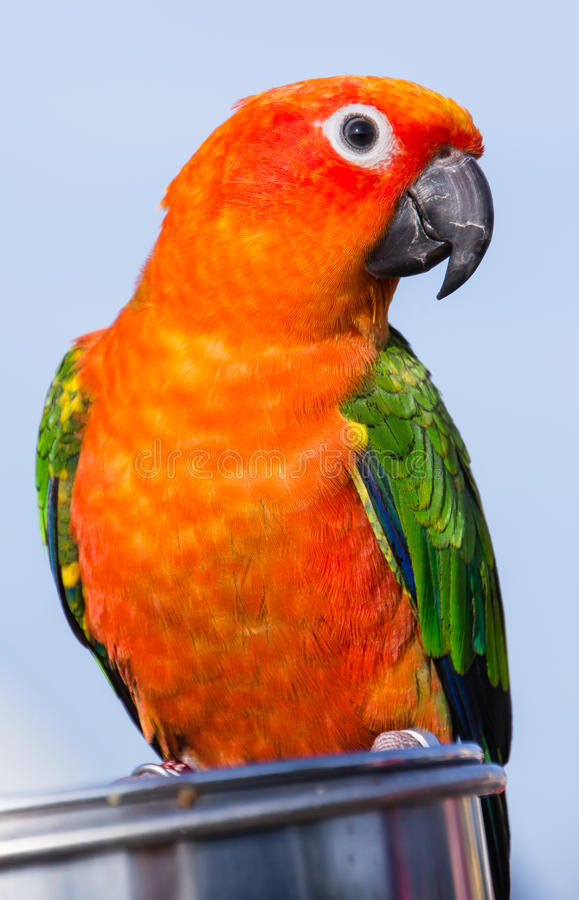 Sun Conure on a dish with food stock photography
