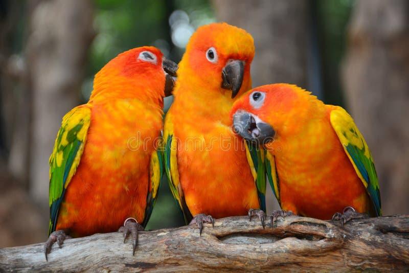 Sun Conure parrot bird stock images