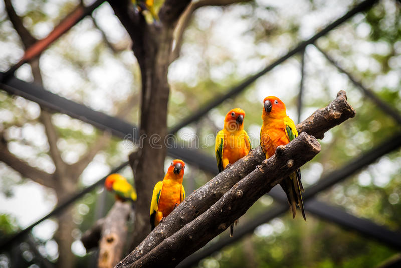 Sun Conure parrot is standing at dry branch.  stock image