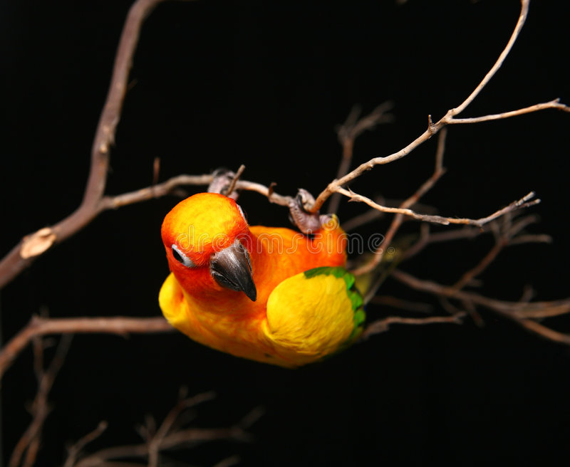 Sun Conure Playfully Hanging Upside Down stock photo