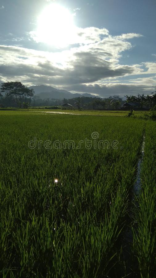Sun coolnature good morning green outdoor rice. Nature good morning green outdoor rice snature sunature sunnature cnature conature coonature coolnature coolature royalty free stock photography