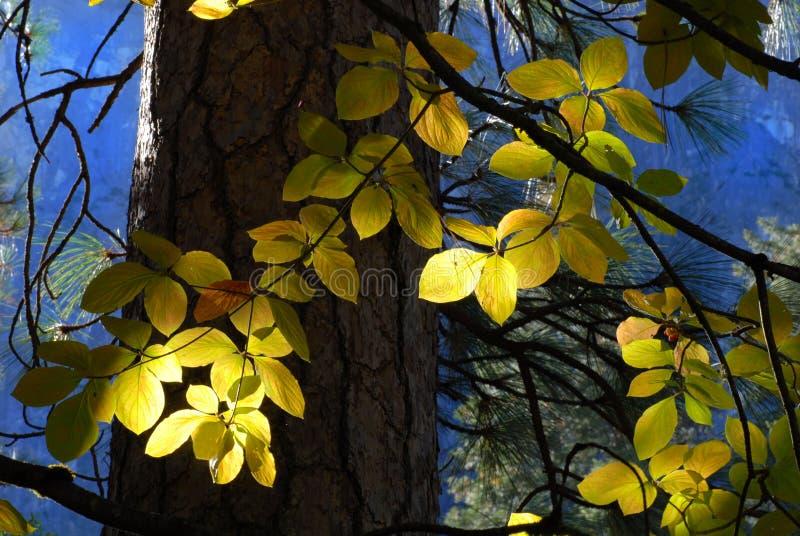 Sun coulant par des lames d'éclairage de forêt d'un arbre photo libre de droits