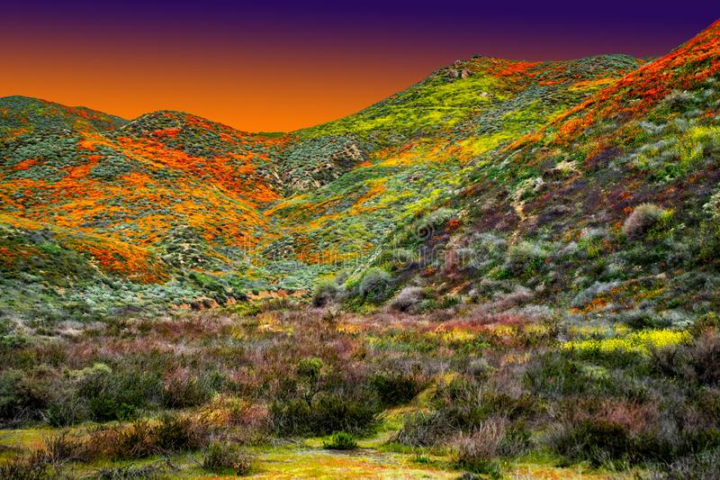 California Poppy fields landscape, sun creasting on the horizen casting a gloden glow over colorful hills and valleys. stock images
