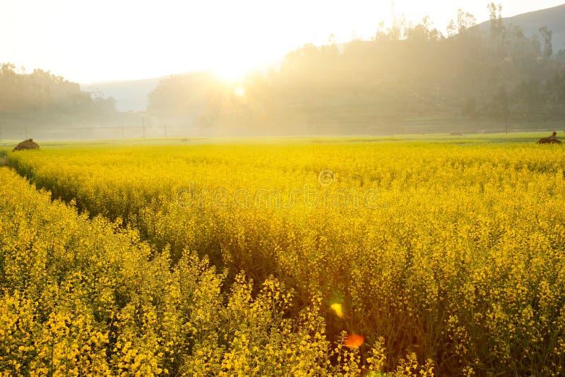 Sun, der auf gelben Blumen in China scheint stockfoto