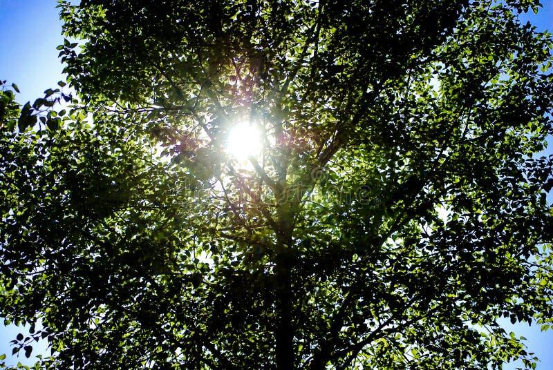 Sun, der durch Blätter an einem hellen Frühlingstag späht stockfotografie
