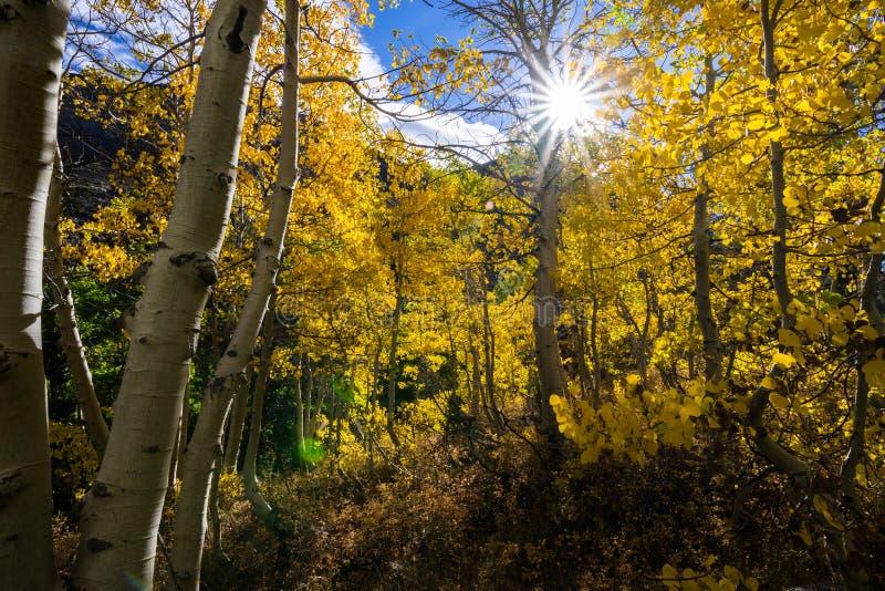 Sun, der durch eine Waldung von Espenbäumen scheint stockbild