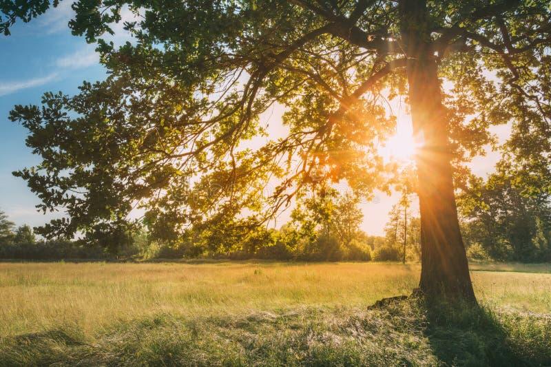 Sun, der durch Grün-Eichen-Laub im grünen Park scheint Sonniger Wald des Sommers stockfotografie