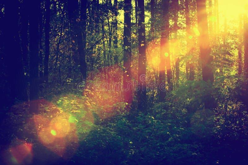 Sun, der durch tiefes Waldaufflackern, vintag scheint stockfotos