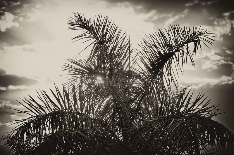 Sun, der hinter Palme im Sepia steigt stockfoto