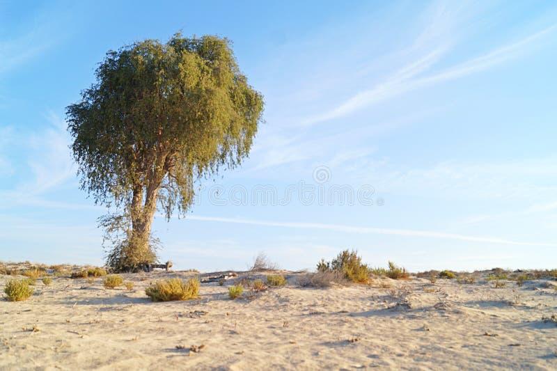 Sun in der Wüste mit einem Baum lizenzfreies stockfoto