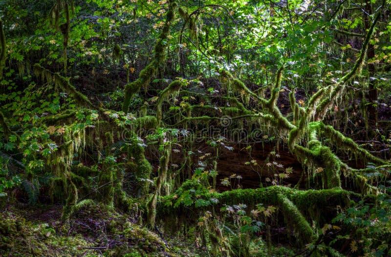 Sun destaca ramas cubiertas de musgo oscuras y las raíces para hacerlo como hadas deben vivir aquí en Hoh Rain Forest fotos de archivo