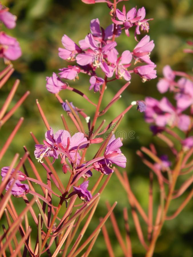 Sun drenched Fireweed blossoms stock images