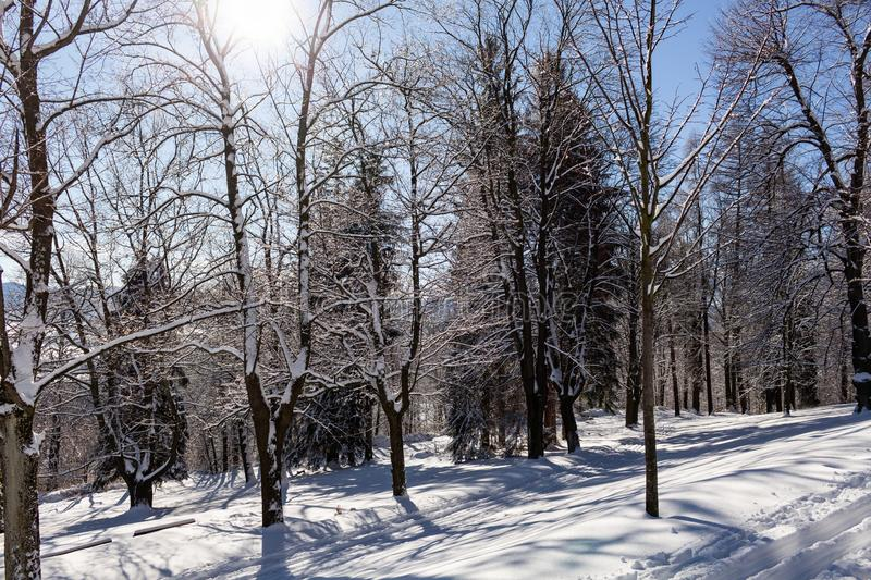 Sun-drenched winter landscape covered with snow on trees.  royalty free stock photo