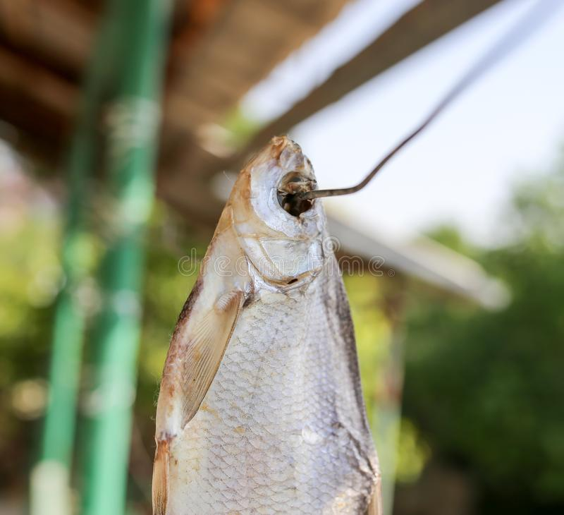 Sun-dried salted fish in the air royalty free stock photo