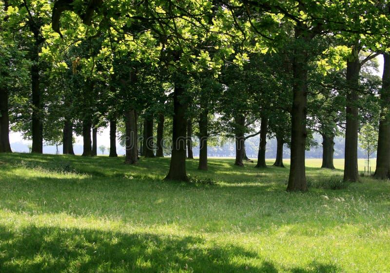 Sun durch die Eichenbäume lizenzfreies stockfoto