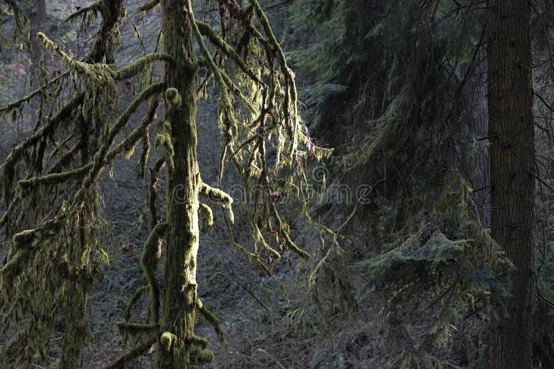Sun emite abajo en las maderas viejas cubiertas de musgo del bosque foto de archivo