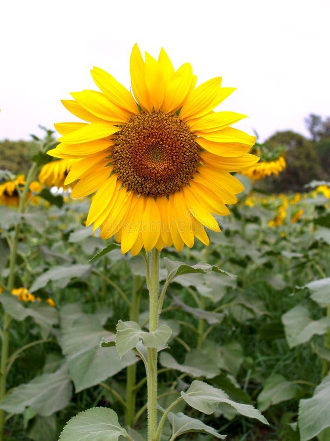 Sun För 04 Blomma Arkivfoton