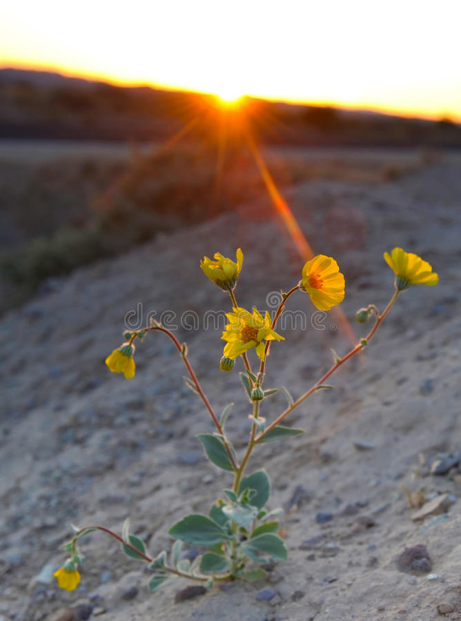 Sun faisant une pointe au-dessus de la montagne au coucher du soleil brillant sur la fleur de désert/p photographie stock libre de droits