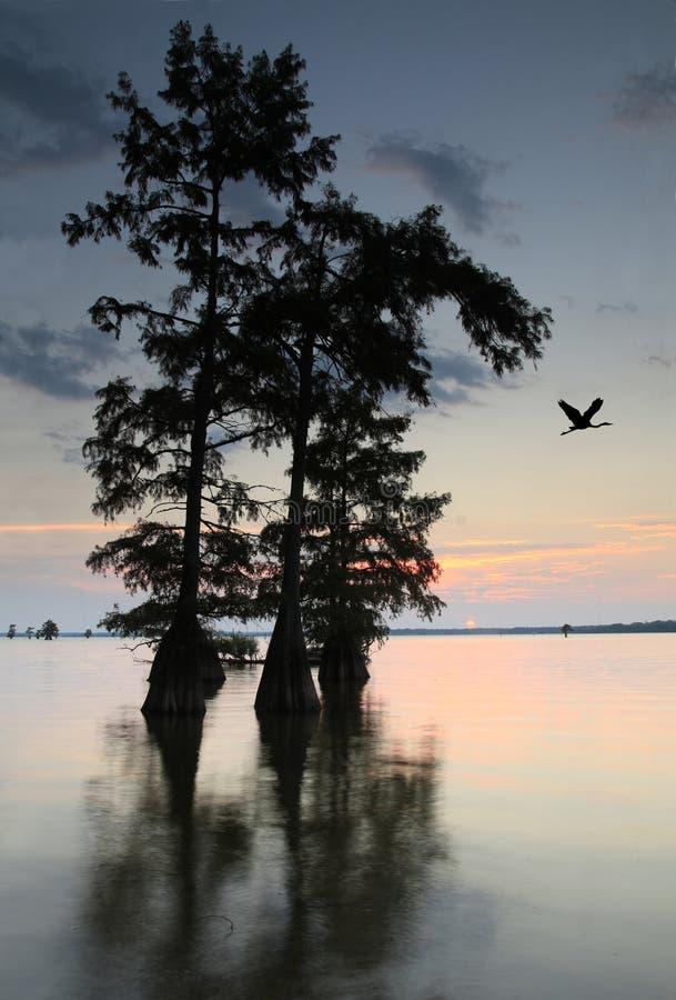 Sun fija en el lago con los árboles de Cypress calvo mientras que la garza azul vuela Ove imagen de archivo