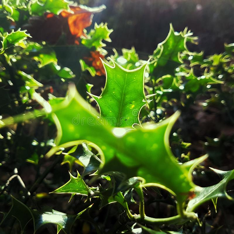 Sun filled Holly royalty free stock photography