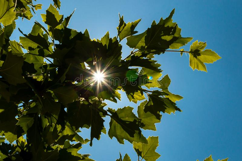 Sun flare behind green leaves of a tree royalty free stock photo