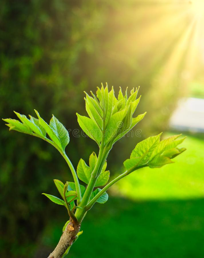Sun flares over green sprout on the top of tree branch. In April. New life is coming stock photos