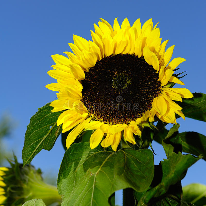 Sun flower. In the garden royalty free stock images