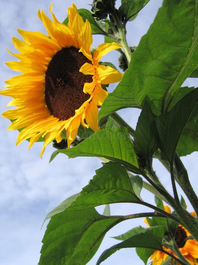 Sun-flower royalty free stock image