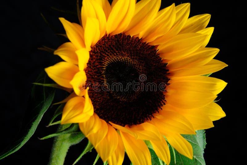 Sun-Flower imagem de stock