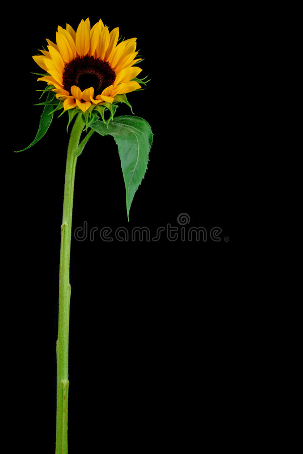 Sun Flower royalty free stock images