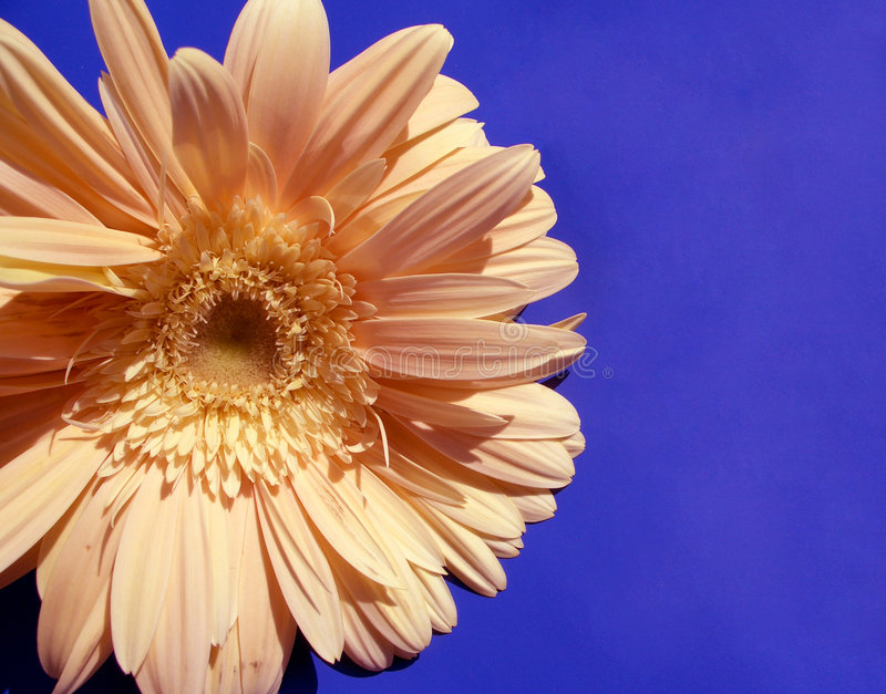 Sun-flower...(3). Here is a yellow flower on blue background. Is a sun-flower royalty free stock photos