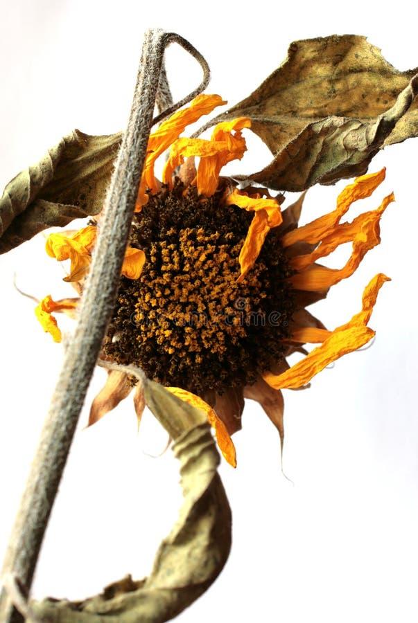 Sun-flower. Details nature flora stock image