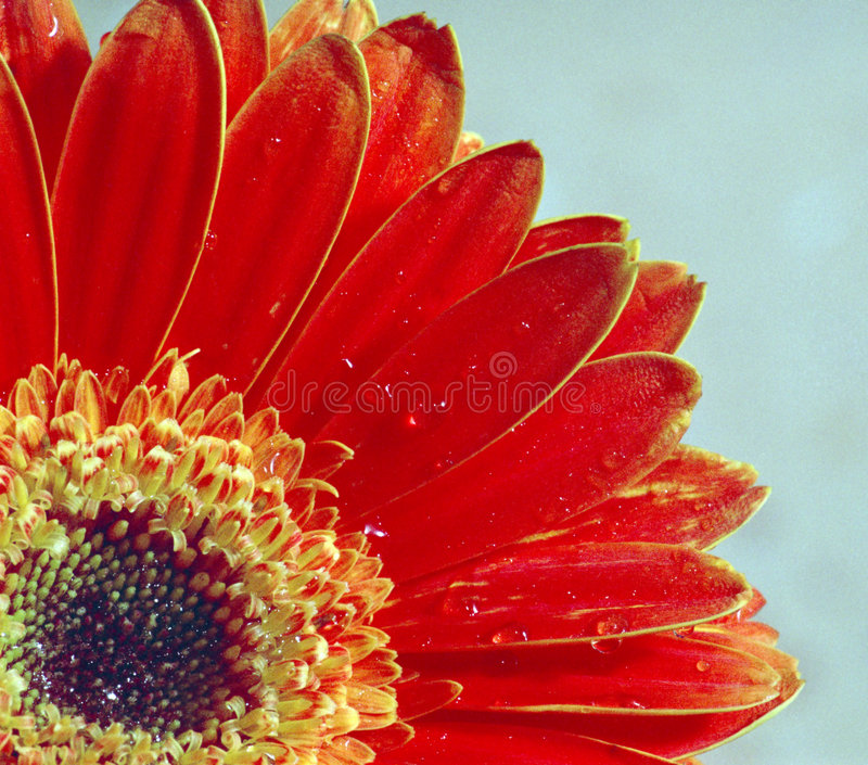 Sun Flower. It is the detail of red flower. The shape like sun stock images