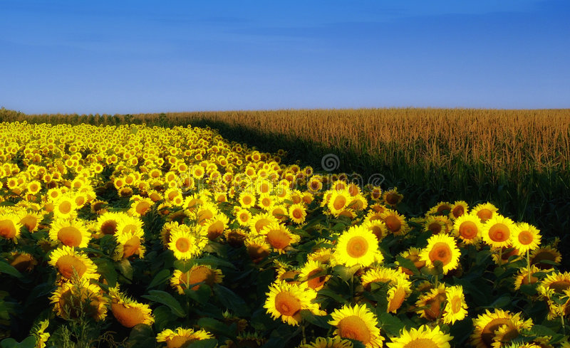 Download Sun flower stock image. Image of colorful, green, nature - 4750315