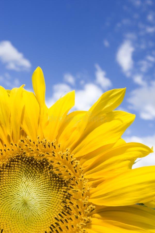 Free Sun-flower Royalty Free Stock Image - 6694246