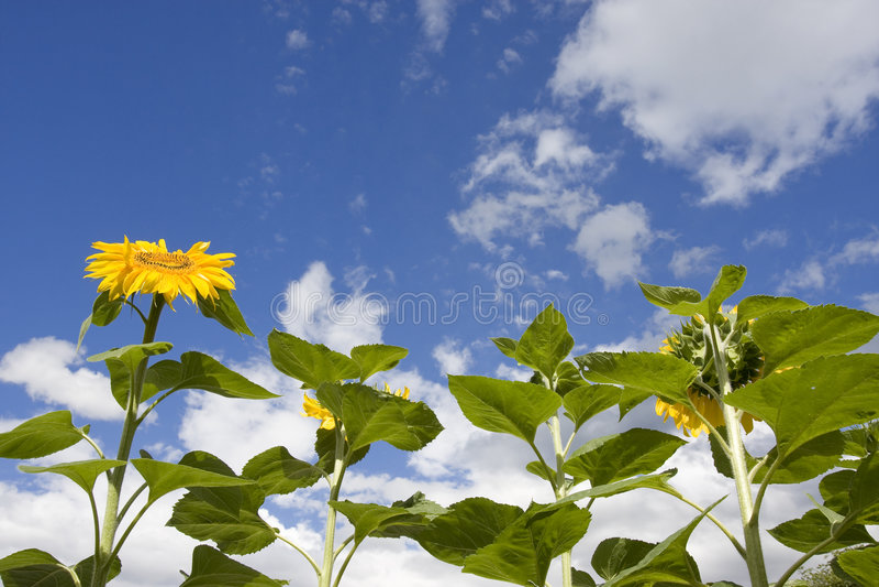 Sun-flower stock photo