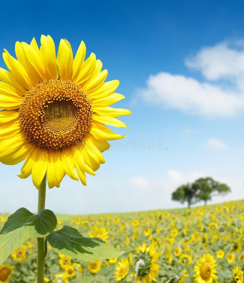 Sun flower. Field on a sunny day royalty free stock photos