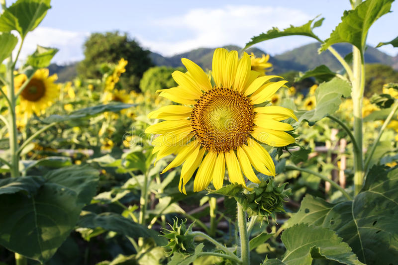 Sun flower against a blue sky,Thailand. Beautiful sunflower in the field in Sakonnakhon,Thailand royalty free stock images