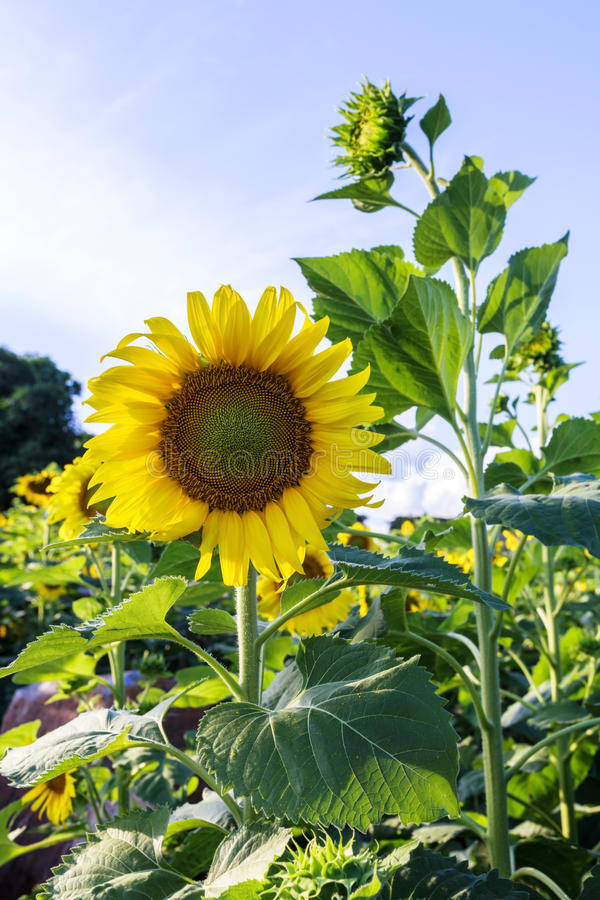 Sun flower against a blue sky,Thailand. Beautiful sunflower in the field in Sakonnakhon,Thailand royalty free stock photo
