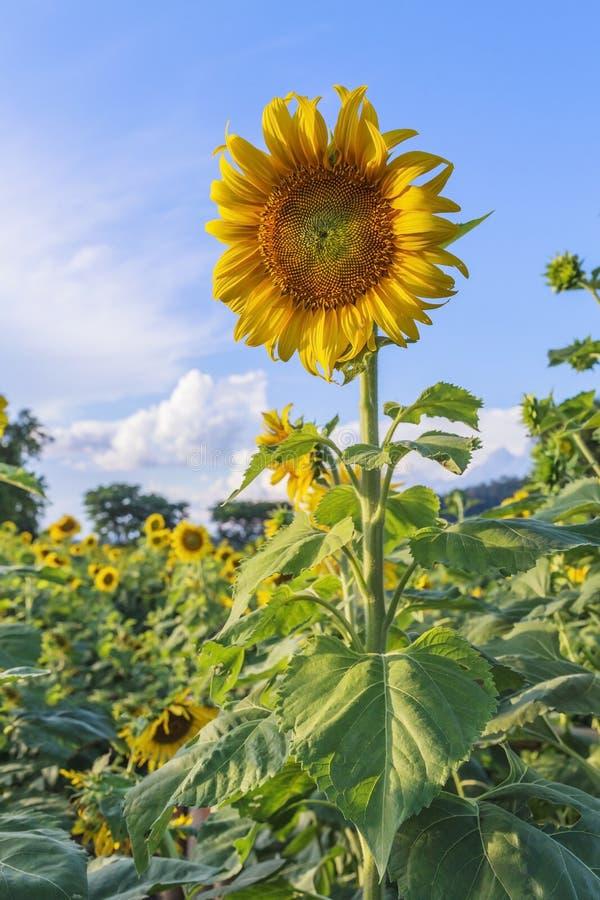 Sun flower against a blue sky,Thailand. Beautiful sunflower in the field in Sakonnakhon,Thailand royalty free stock photos