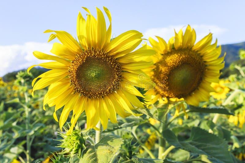 Sun flower against a blue sky,Thailand. Sun flower against a blue sky,Sakonnakhon,Thailand royalty free stock photography