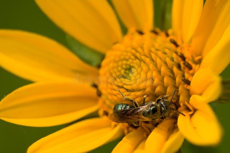 Sun Flower Bee stock photos