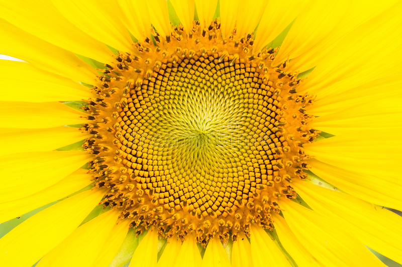 Sun flower. Close up of sun flower royalty free stock photography