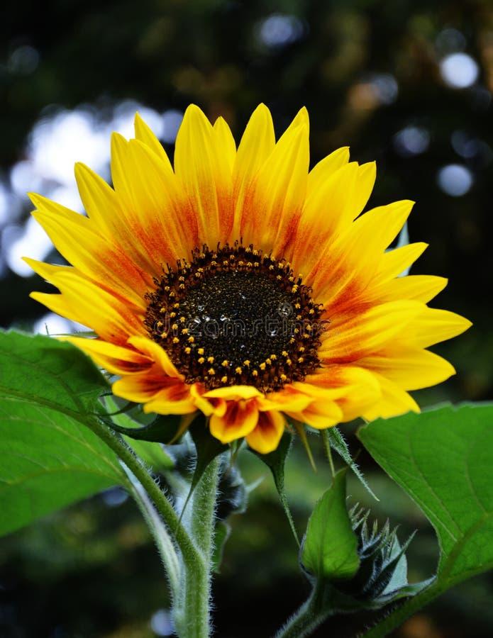 The sun flower stock photos